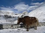 300px-Yak_at_third_lake_in_Gokyo